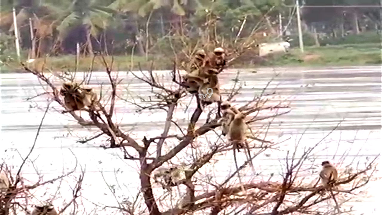 ತುಂಗಾ ನದಿ ಮಧ್ಯೆ ಸಿಲುಕಿರುವ ಮಂಗಗಳು: ರಕ್ಷಣೆಗೆ ಸಿಬ್ಬಂದಿ ಹರಸಾಹಸ